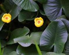 コウホネは黄花