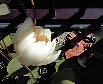 今年最後のはちすの花