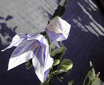 絞り咲き桔梗