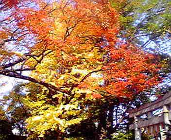 新田神社の大ケヤキそしてイチョウ