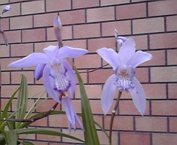 青花紫蘭2種:「蒼龍」(左) & 「紫式部」(右)