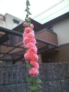 Iマルガーデンのタチアオイ(2)