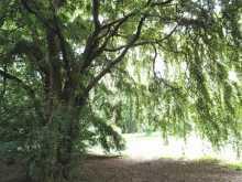 枝垂れて木漏れ陽が