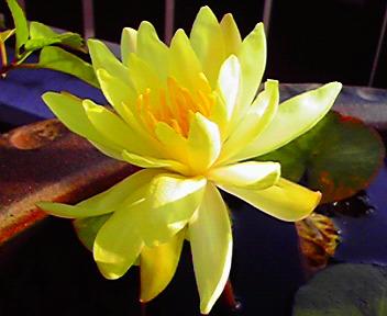 心なしか管物菊めいた咲き方でもあり