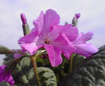 動きのある立体的な花形が特徴