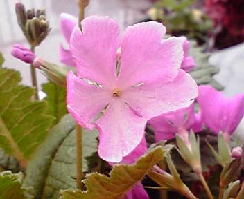 花の外側より内側が淡色なのも特徴