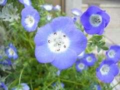 ネモフィラ 花のアップ
