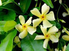 テイカカズラ 花のアップ