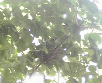 ヤマボウシの枝陰にキジバト
