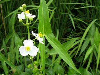 オモダカは白花