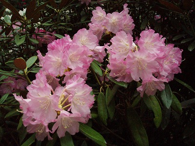 Rhododendronjaponoheptamerum